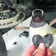 By Liezl Vicedo Recently at the Sea Life Aquarium in Sydney, Australia, there's been a growing buzz about the same-sex penguin couple Magic and Sphen. Though same-sex courtship is common […]